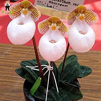 prime vista Weiß 100pcs 20 Arten Orchideen-Samen mehrjährige Blumen-Topfpflanzen dekorative Bansai-Samen für Balkon u Gartenpflanze Diy Hausgarten-Weiß