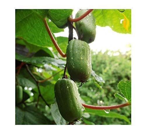 15x MINI Kiwi Actinidia arguta Issai selbstbestäubend Samen Obst 204