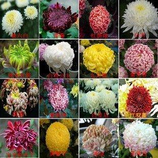 100pcs Bonsai Samen saisonale Blumen Chrysantheme Samen Daisy Saatgutqualität Samen Heim Garten