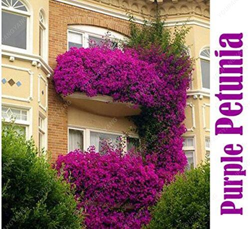 100seeds Topfblumensamen Garten Petunia Hanging Petunie Samen Balkon Bonsai Pflanzen für Garten Heim Einfach zu wachsen
