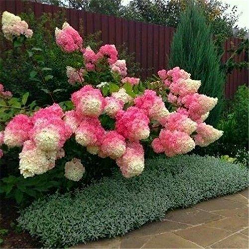 50 Vanilla Strawberry Hortensien Blumensamen als Bonsai Pflanze oder Baum im Topf oder Boden Hydrangea macrophylla für Heim Garten