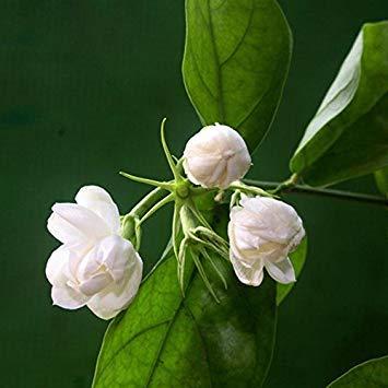 Heiße weiße Jasmin-Blumensamen Duftpflanzen arabische Jasmin Samen Bonsai Topfpflanzen für Heim Garten 20 PC  bag