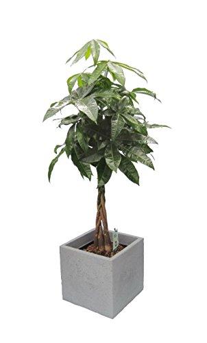 Dominik Blumen und Pflanzen Blumen Glückskastanie Pachira  1 Pflanze im Scheurich Topf C-Cube circa 29 x 29 x 27 cm 60-80 cm hoch stony grey  mehrfarbig