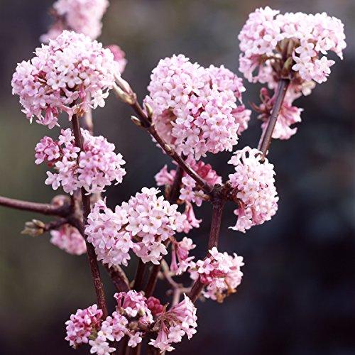 Dominik Blumen und Pflanzen Duft-Winterschneeball Viburnum x bodnantense rosa blühend 1 Strauch 2-3 triebig 30 - 40 cm hoch plus 1 Paar Handschuhe gratis
