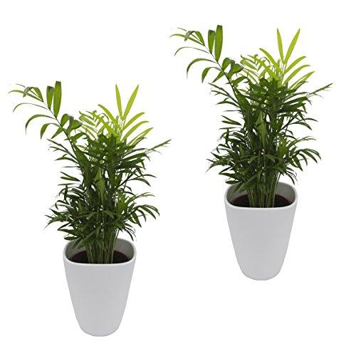 Dominik Blumen und Pflanzen Zimmerpflanzen Zimmerpalmen-Duo - 2 Chamedorea - mit weißem Dekotopf ca 20 - 30 cm hoch