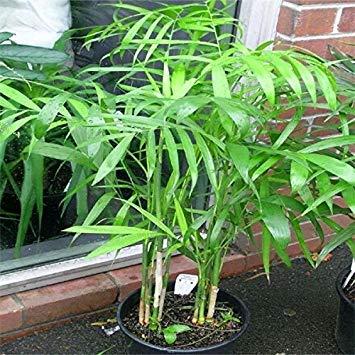 50 Stück 19 Arten Mehrere Farben-Schmetterlings-Orchideen-Samen Balkon Bonsai Seed für DIY Garten JOYSZO