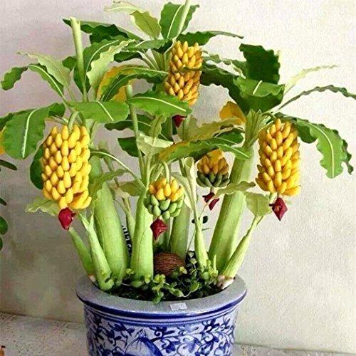 KEPTEI Garten Seltene Mini Banane Samen - 10203050100 StückePack - Bonsai Bananen Baum Samen - Mini Obst Bonsai - Bonsai geeignet