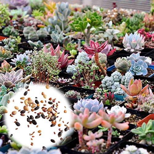 BigFamily 400 stücke Mixed Sukkulenten Samen Seltene Lebende Steine Pflanzen Kaktus DIY Hausgarten