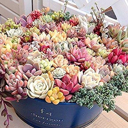 Bonsai Blumen Innen fleischiger Pflanze lithops Stein Blumensamen saftig Samen Bonsai-Kaktus Pflanze - 200 Stück Samen