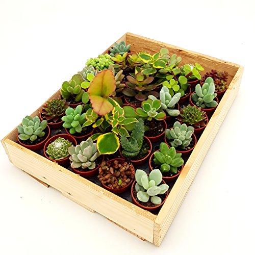 Mini-Sukkulenten im 35cm Topf - incl Holzkiste 30 Pflanzen