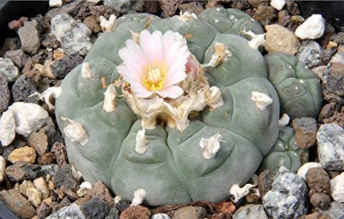 Asklepios-seeds - 50 Samen Lophophora williamsii Peyote Kaktus Peyotl