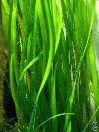 1 Bund Vallisnerien gigantea Wasserpflanzen