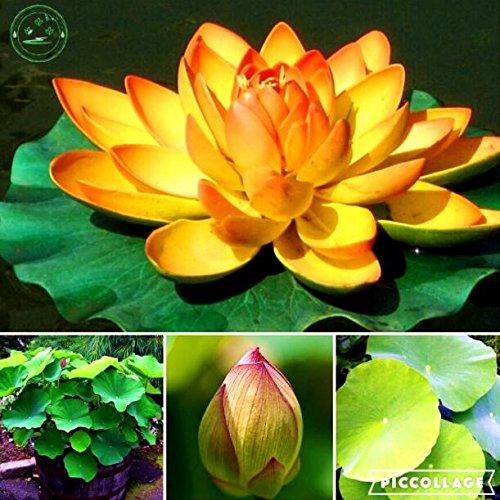 Lotosblume Lotossamen Pflanzen Wasserpflanzen Wasser Seerose Blumen Samen Pflanzen für Hausgarten 10pcs e41 Goldene