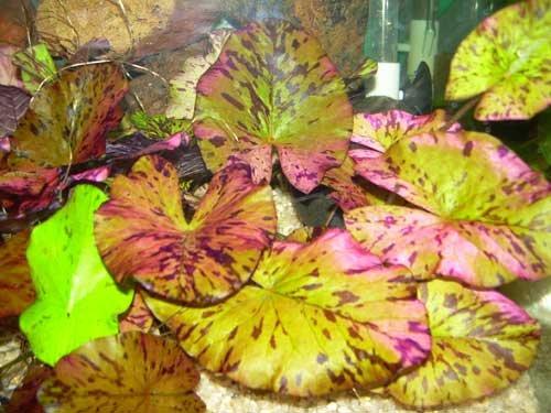 Nymphaea lotus varrubra Roter Tigerlotus Pflanze Wasserpflanzen
