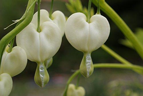 6 Samen Tränendes Herz Lamprocapnos Spectabilis weiß