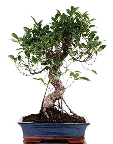 Bonsai - Ficus microcarpa retusa Chinesische Feige 19620