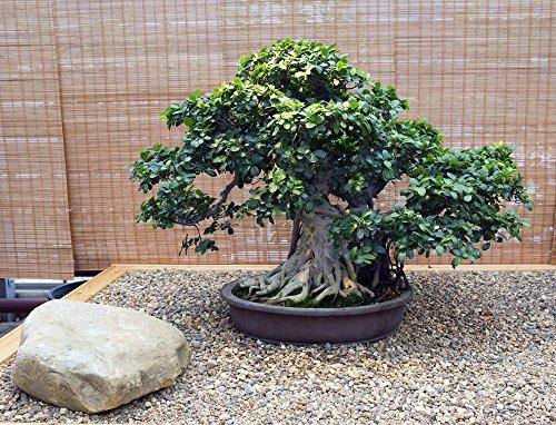 Ficus Obliqua 20 Samen - BonsaiZimmerpflanze