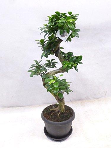 Ficus microcarpa Ginseng BONSAI 90 cm  Zimmerpflanze