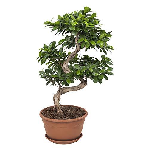 FloraAtHome - Grünpflanze - Ficus Ginseng Bonsai - 70cm hoch