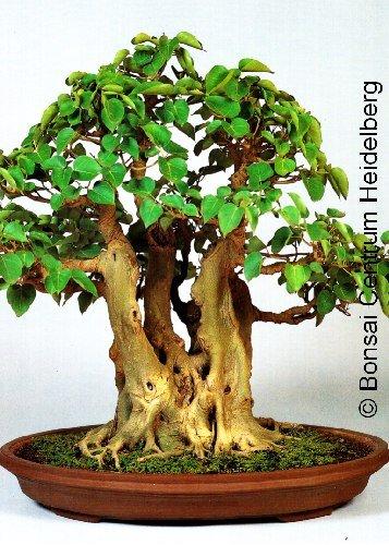 Tropica - Bonsai - Bobaum  Bodhibaum Ficus religiosa - 200 Samen