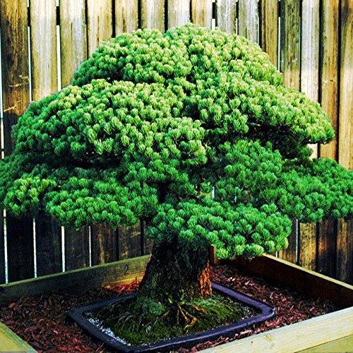 50 Stück Weiß Fichte Kiefer Pinus parviflora Baum Samen Bonsai