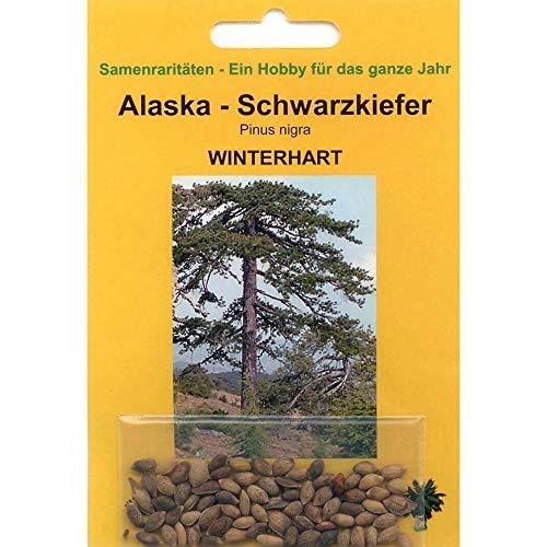 Bonsai - 50 Samen von Alaska Schwarzkiefer Pinus nigra 90064