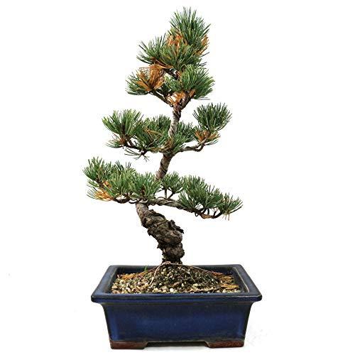 Japanische Mädchenkiefer Pinus penthphylla Outdoor-Bonsai 17 Jahre Höhe 25 cm