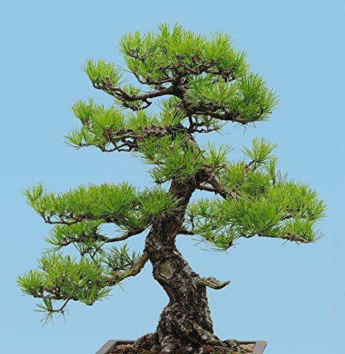 Japanische Schwarzkiefer 10 Samen Bonsai Samen Pinus thunbergii