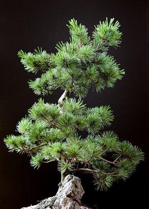 Mittelmeer Pinie Pinus pinea Bonsai geeignet 5 Samen