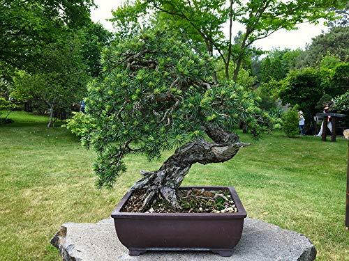 Pinus Sylvestris 10 Samen -Waldkiefer Samen GartenBonsai