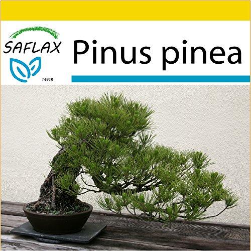 SAFLAX - Anzucht Set - Bonsai - Mittelmeer-Pinie - 6 Samen - Pinus pinea