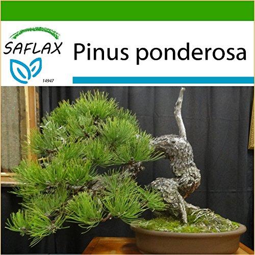 SAFLAX - Bonsai - Goldkiefer - 20 Samen - Mit Substrat - Pinus ponderosa