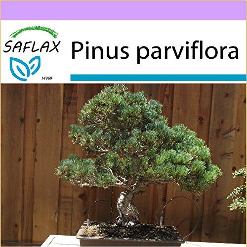SAFLAX - Bonsai - Mädchenkiefer - 12 Samen - Pinus parviflora