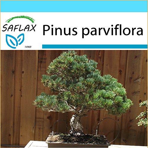 SAFLAX - Geschenk Set - Bonsai - Mädchenkiefer - 12 Samen - Pinus parviflora