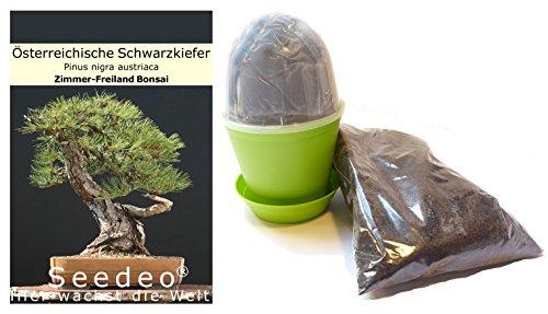 Seedeo Bonsai Anzuchtset Österreichische Schwarzkiefer Pinus nigra austriaca