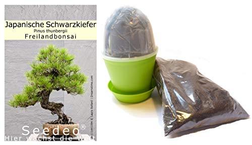 Seedeo Bonsai Anzuchtset Japanische Schwarzkiefer Pinus thunbergii