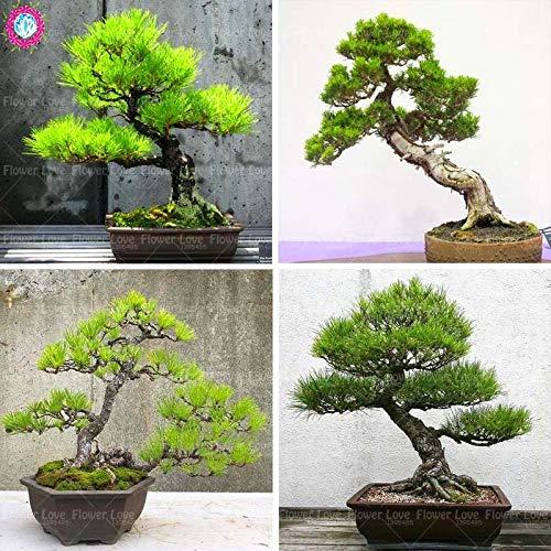 Shopmeeko 20 stücke Pinus anlage Japanische Schwarzkiefer pflanze Garten Immergrüne Bonsai Baum Mehrjährige Zier Topfpflanze