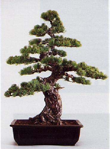 Tropica - Bonsai - Mädchenkiefer Pinus parviflora - 12 Samen