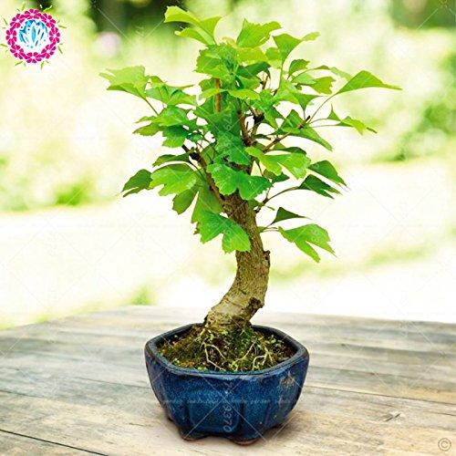 Erbstück Organic 5 PC  bag Ginkgo biloba Gingko Ginkgobaum Samen Nüsse Bonsai-Baum aus Samen Blumentopf gewachsen für Hausgarten 3