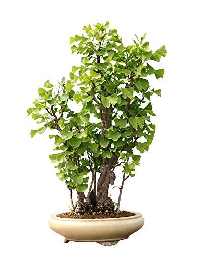 Ginkgo BilobaGoethebaum  Trollbaumca 5 SamenBonsai geeignetwinterhart