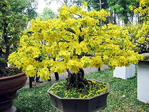 GinkgobaumBonsai geeignet  5 SamenGinkgo biloba