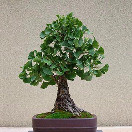 Oplon 102050 Stücke Maidenhair Fossilen Baum Biloba Ginkgo Bonsai Samen Gelb Zierpflanzen