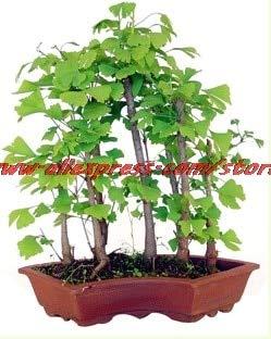 PinkdoseErbstück Bio 5 Ginkgo Biloba Gingko Maidenhair Obst Bonsais Nüsse Bonsai Baum aus Bonsai gewachsen