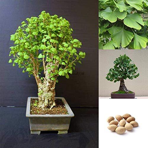 Plantree Als Bild 10 Stück Maidenhair Fossil Baum Biloba Ginkgo Bonsai Samen Gelb Btl8 02