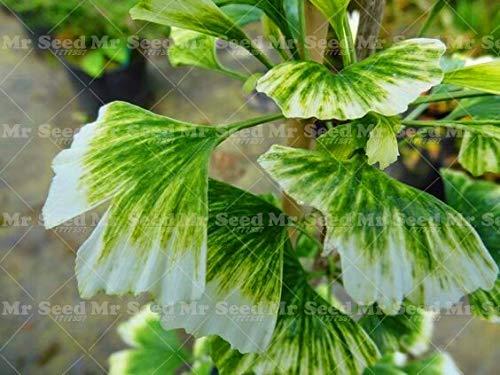Shopmeeko 5 STÜCKE Ginkgo Biloba pflanze Schöne Laub Pflanzen Ginkgo Bonsai Gelb Topf Edel Chinesischen kräutermedizin anlage 3