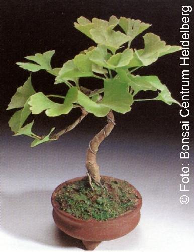 Tropica - Bonsai - Ginkgo Ginkgo biloba - 4 Samen