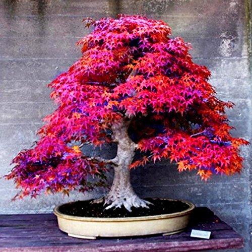 8 Arten Bonsai-Baum-Samen Seltene Maple Samen Pflanzen Topf Klage für DIY Hausgarten Japanischer Ahorn-Samen 20 PC  Kinds