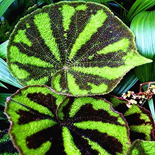 Begonie Multi-Arten Bonsai 50 Samen - Balkon Kräuterbeet Ausführlicher Anzucht Zimmerpflanze