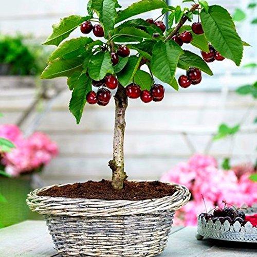 Edited Bonsai Obstbaum Samen Obst Samen Kiwi Samen Kirsche Samen Apfel Samen Orange Samen Eine Mischung von Arten Früchte Samen 50 StückPack Kirsche