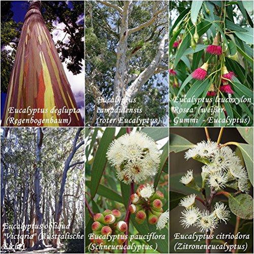 Eucalyptus Mix - 6 Arten je 30 bzw 50 Samen Bonsai geeignet- sortenrein verpackt